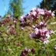 Oregano Flowers (Origanum vulgare)